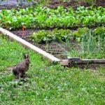 potager et lapins