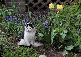 Chat dans le potager