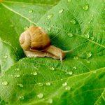 potager et escargots