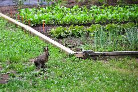 Comment éloigner les lapins du potager